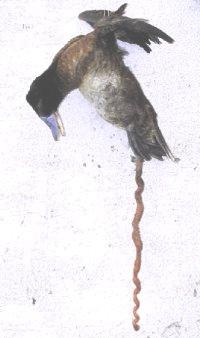 penes-mas-grandes-mundo-animal-pato-laguna-azul