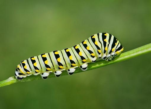 07 - Black Swallowtail