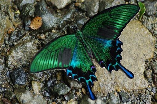 08 - Black Swallowtail