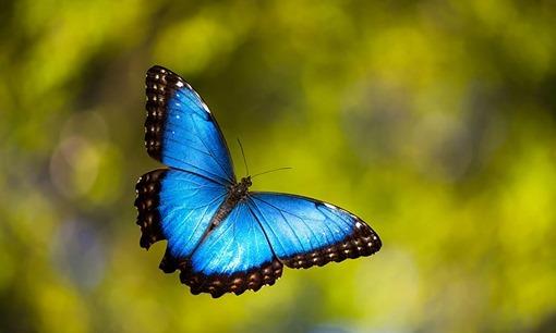 10 - Blue Morpho