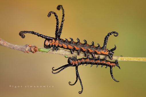 11 - Brahmin Moth