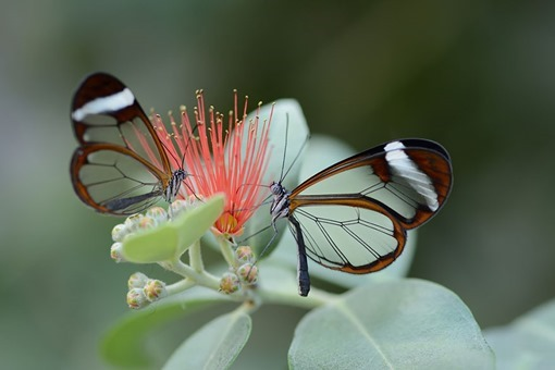 20 - Glass Winged Butterfly