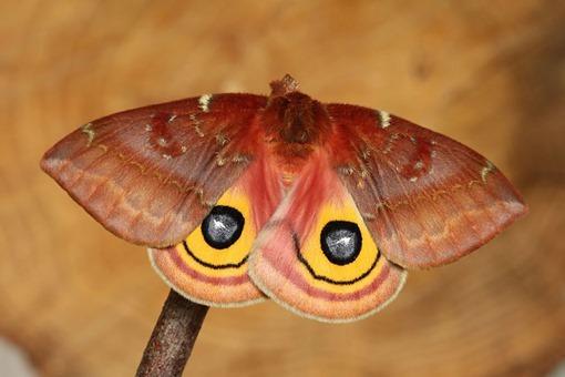 24 - Io Moth