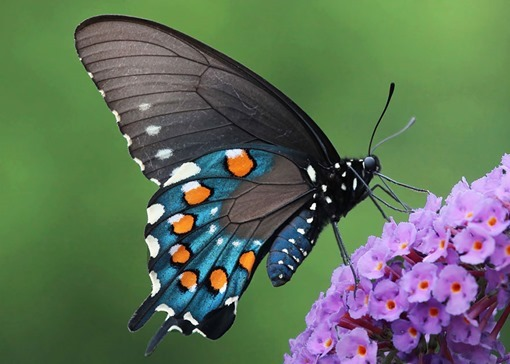 32 - Pipevine Swallowtail