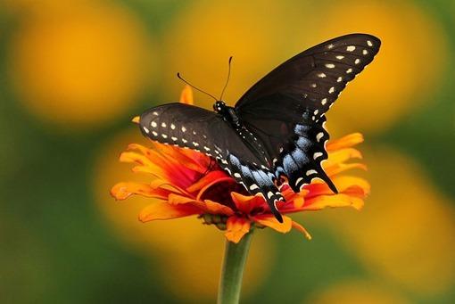 36 - Spicebush Swallowtail