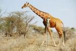 Anil Saxena-surrealista-photoshop-2-jirafa